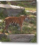 Tiger Stroll Metal Print