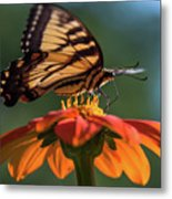 Tiger Swallowtail - 3 Metal Print