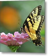 Tiger Swallowtail Butterfly Metal Print by Bill Cannon