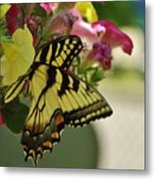 Tiger Swallowtail Butterfly On Begonia Bloom         June            Indiana Metal Print