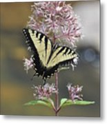 Tiger Swallowtail Butterfly On Common Milkweed 2 Metal Print