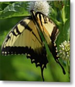 Tiger Swallowtail On Button Bush Metal Print