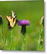 Tiger Swallowtail On Thistle Metal Print