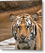 Tiger Wading Stream Metal Print
