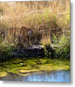 Tigress By The Stream Metal Print