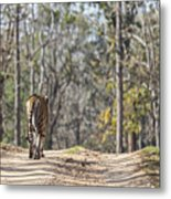 Tigress Walking Along A Track In Sal Forest Pench Tiger Reserve India Metal Print