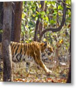 Tigress Walking Through Sal Forest In Pench Tiger Reserve  India Metal Print