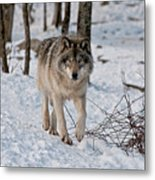 Timber Wolf In Snow Metal Print by Michael Cummings