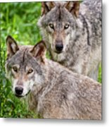 Timber Wolf Pair Metal Print