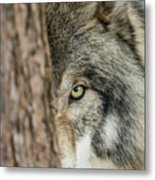 Timber Wolf Picture - Tw285 Metal Print