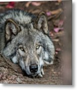 Timber Wolf Picture - Tw286 Metal Print