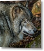 Timber Wolf Picture - Tw417 Metal Print