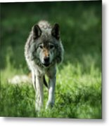 Timber Wolf Picture - Tw69 Metal Print