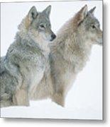Timber Wolf Portrait Of Pair Sitting Metal Print