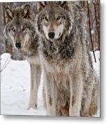 Timber Wolves In Winter Metal Print