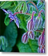 Tiny Blue Flower On A Bush At Pilgrim Place In Claremont-california  Metal Print