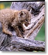 Tiny Bobcat Kitten Metal Print