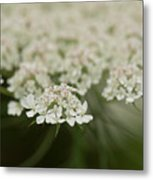 Tiny Cluster Of Queen Anne's Lace Metal Print
