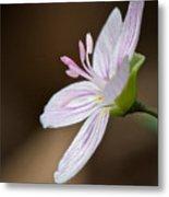 Tiny Spring Beauty Metal Print