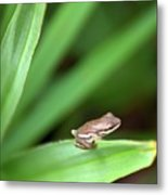 Tiny Tree Frog 01110 Metal Print