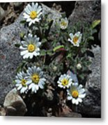 Tiny White Flowers In The Gravel Metal Print