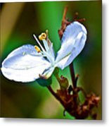 Tiny White Wildflower In Vicente Perez Rosales National Park Near Puerto Montt-chile  Metal Print