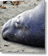 Tired Seal Metal Print