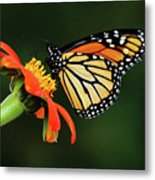 Tithonia Loving Monarch Metal Print