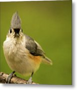 Titmouse Says Here Is Looking At You Metal Print