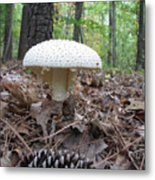 Toad Stool V Metal Print