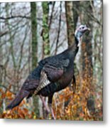 Tom Turkey Early Moning 1 Metal Print