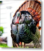 Male Turkey Metal Print