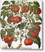 Tomato, 1613 Metal Print