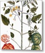 Tomato Plant, 1735 Metal Print