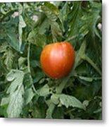 Tomato Plants In A Nebraska Garden Metal Print