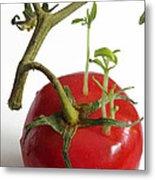 Tomato Seedlings Sprouting Metal Print
