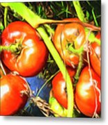 Tomatoes Hanging Like Grapes From Vines Go1 3711a3 Metal Print