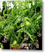 Tomatoes On The Vine Metal Print
