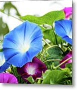 Top Of The Morning Glories Metal Print