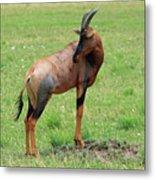 Topi Antelope - Masai Mara - Kenya Metal Print