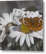 Topsail Butterfly Metal Print