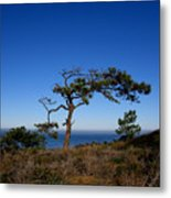 Torrey Pines Tree Metal Print