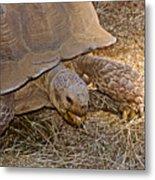 Tortoise Eating Lunch In Living Desert Zoo And Gardens In Palm Desert-california  Metal Print