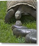 Tortoise Kissing An Anaconda Metal Print