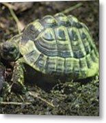 Tortoise Photobomb Metal Print