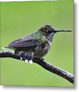 Totally Wet But Beautiful - Ruby-throated Hummingbird Metal Print