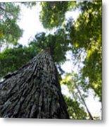 Towering California Redwood Trees Metal Print