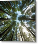 Towering Fir Trees In Oregon Forest State Park Metal Print