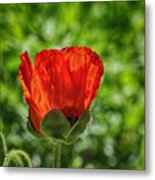 Translucent Poppy Metal Print