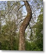 Tree At Botanical Gardens Metal Print